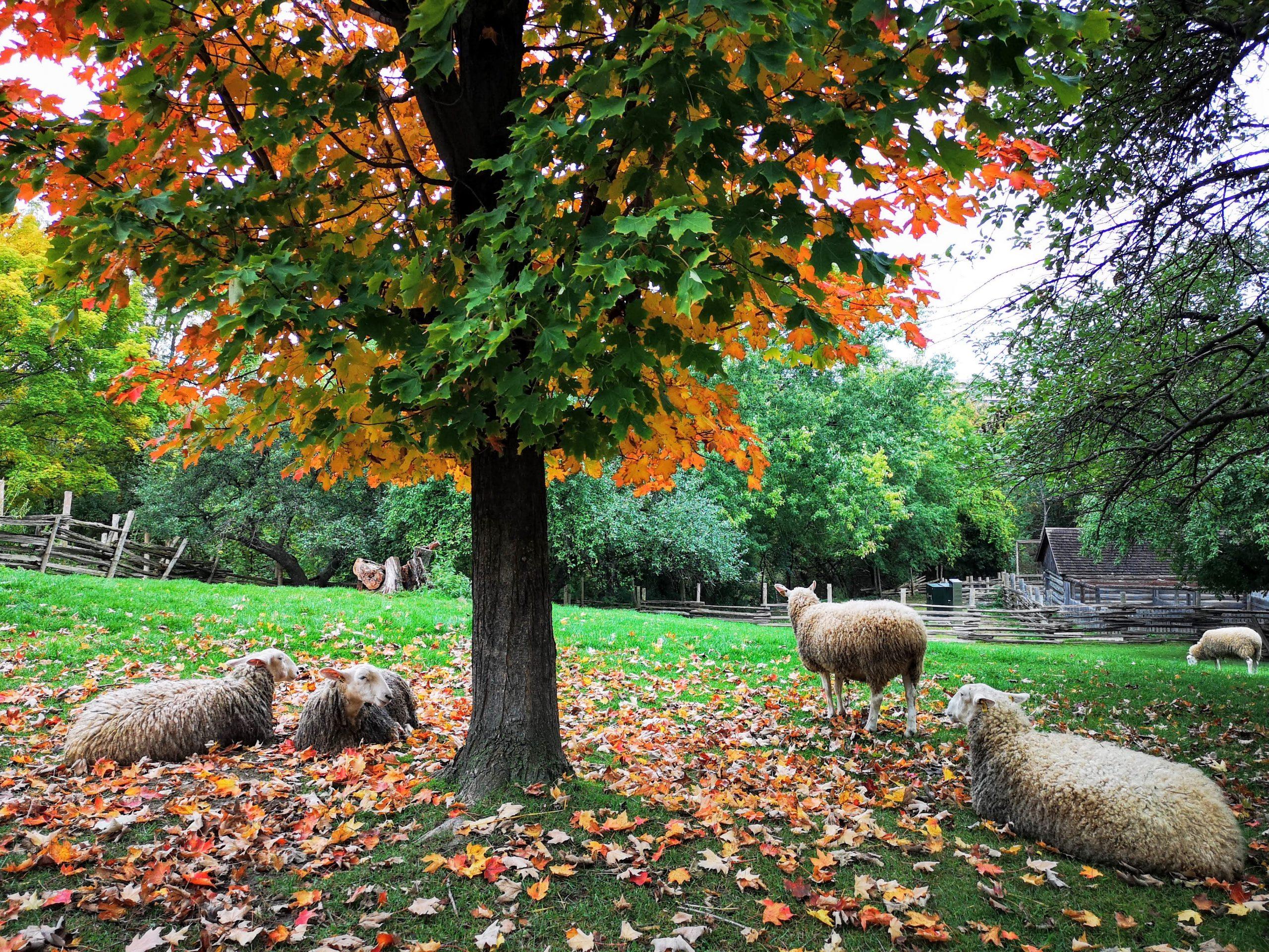 Sheep during autumn