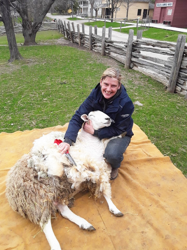Black Creek staff member shears sheep