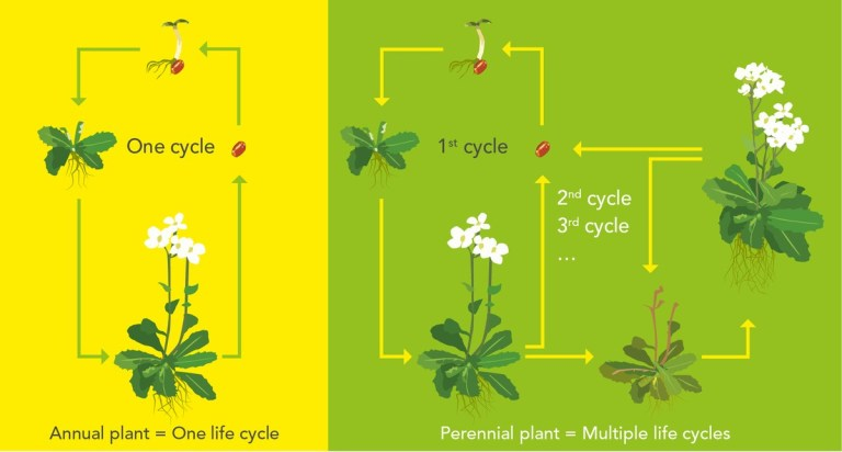 diagram depicting life cycles of annual and perennial plants