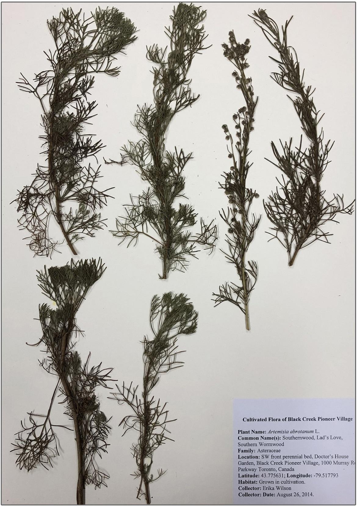southern wormwood herbarium
