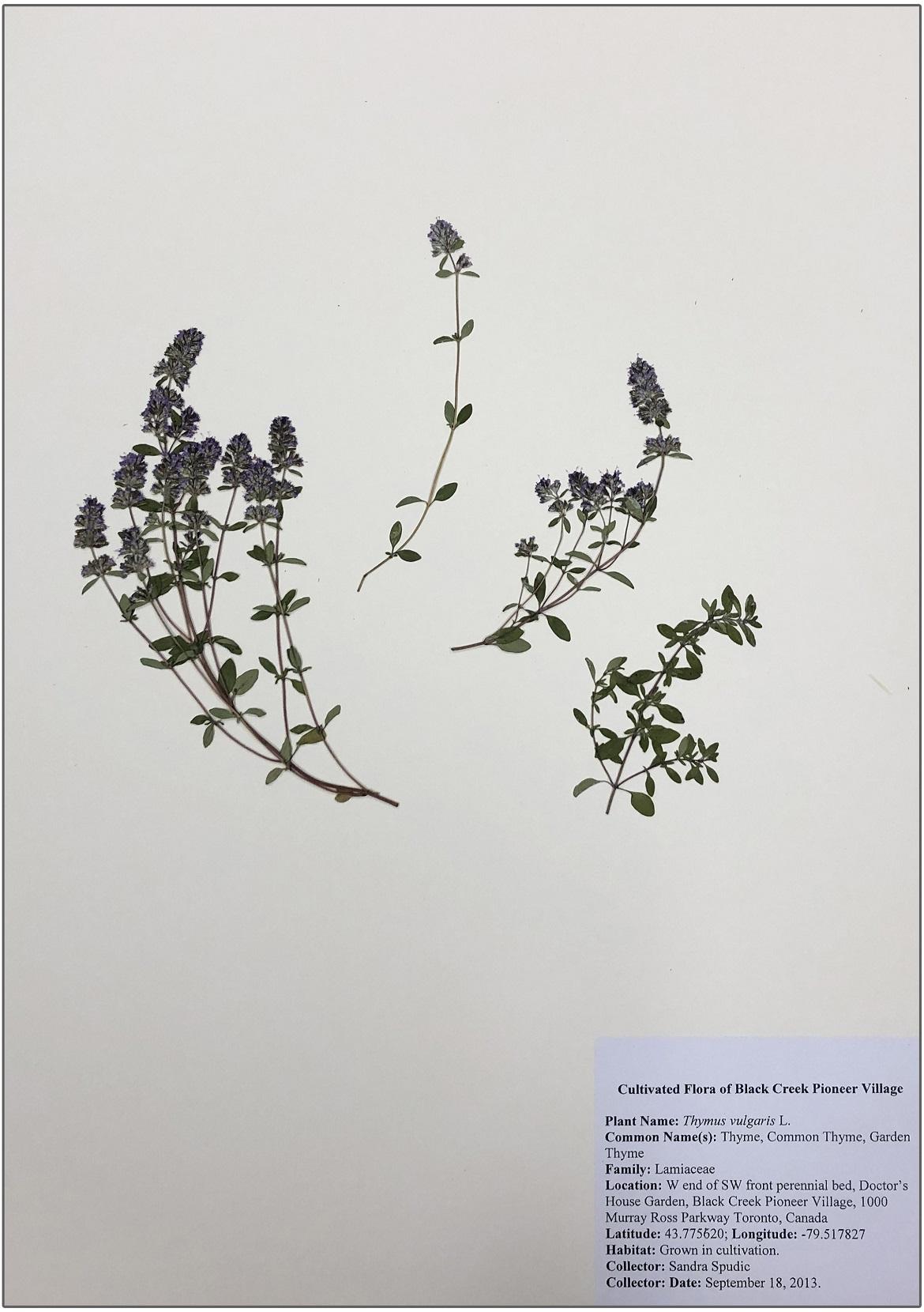 thyme herbarium
