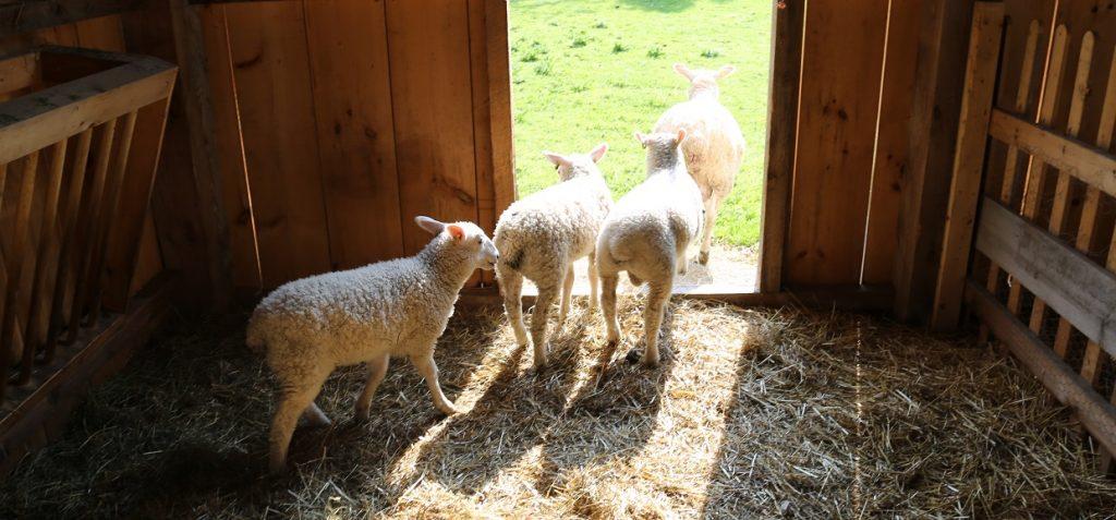 sheep in pen at Black Creek Pioneer Village