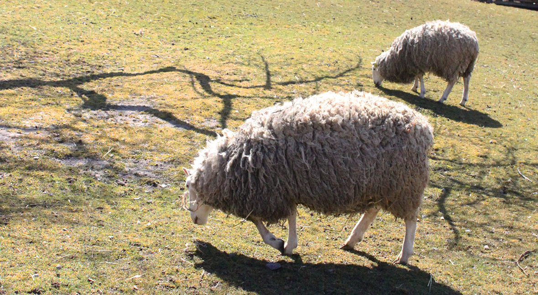 border Leceister sheep graze in meadow at Black Creek Pioneer Village