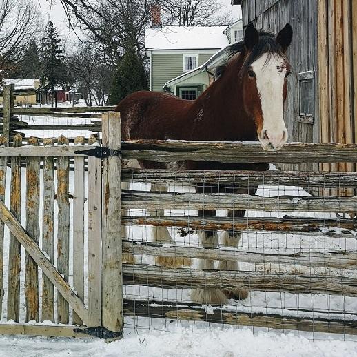 Clydesdale horse at Black Creek Pioneer Village in winter