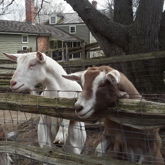 goats in pen at Black Creek Pioneer Village