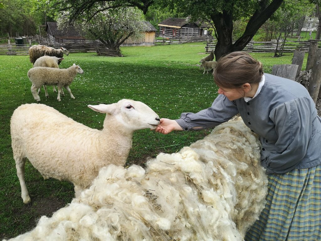 A pioneer with a sheep that has just been sheared