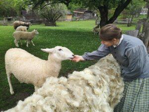 Virtual Sheep Shearing Demonstration @ Facebook Live
