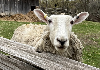 heritage breed Border Leceister sheep in pen at Black Creek Pioneer Village