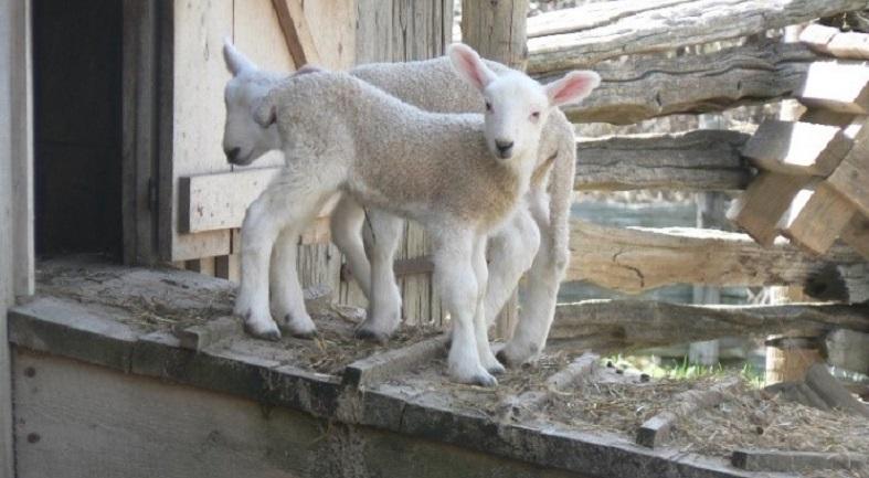 spring lambs at Black Creek Pioneer Village