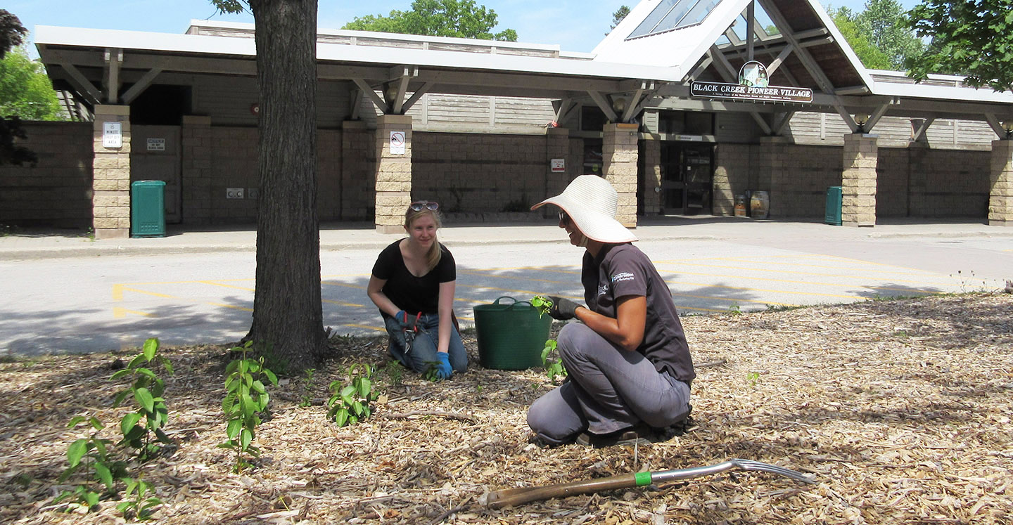 volunteers work in the gardens at Black Creek Pioneer Village