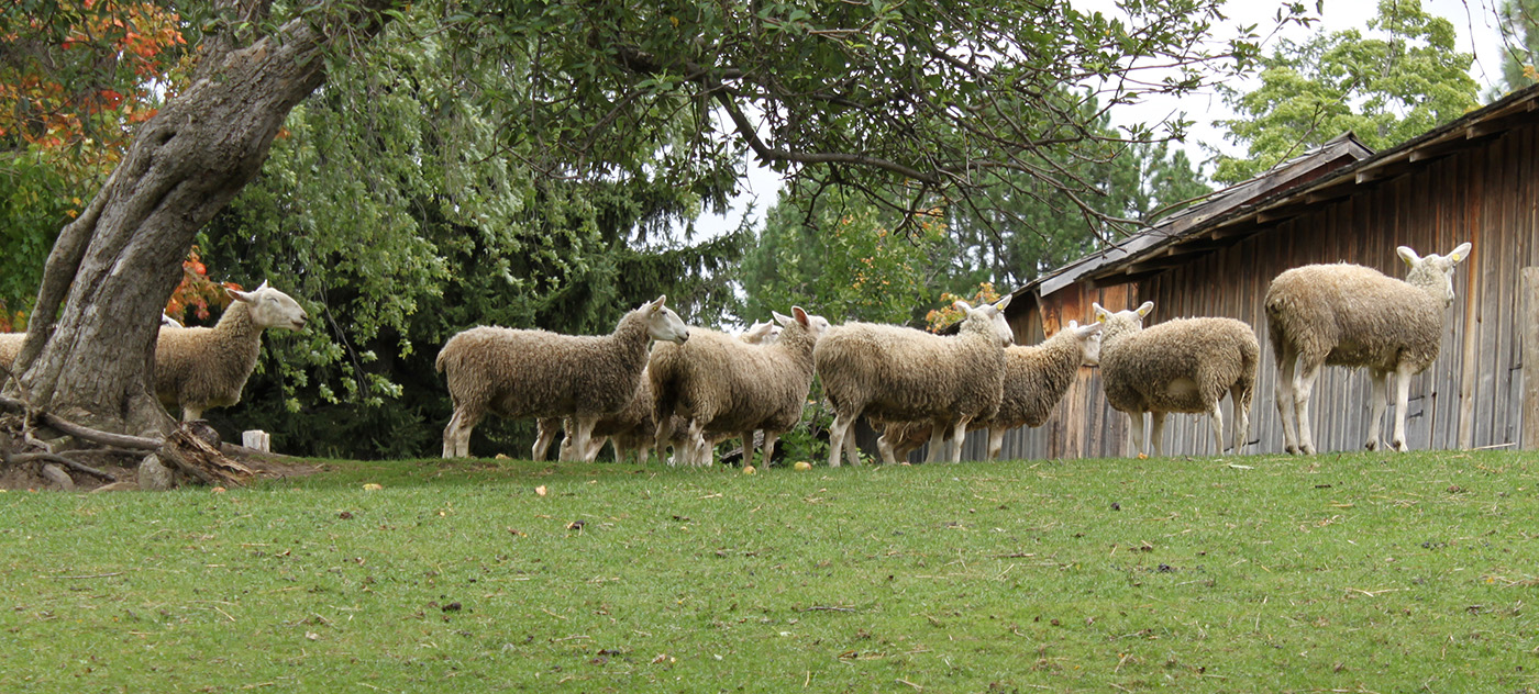 Border Leicester sheep at Black Creek Pioneer Village