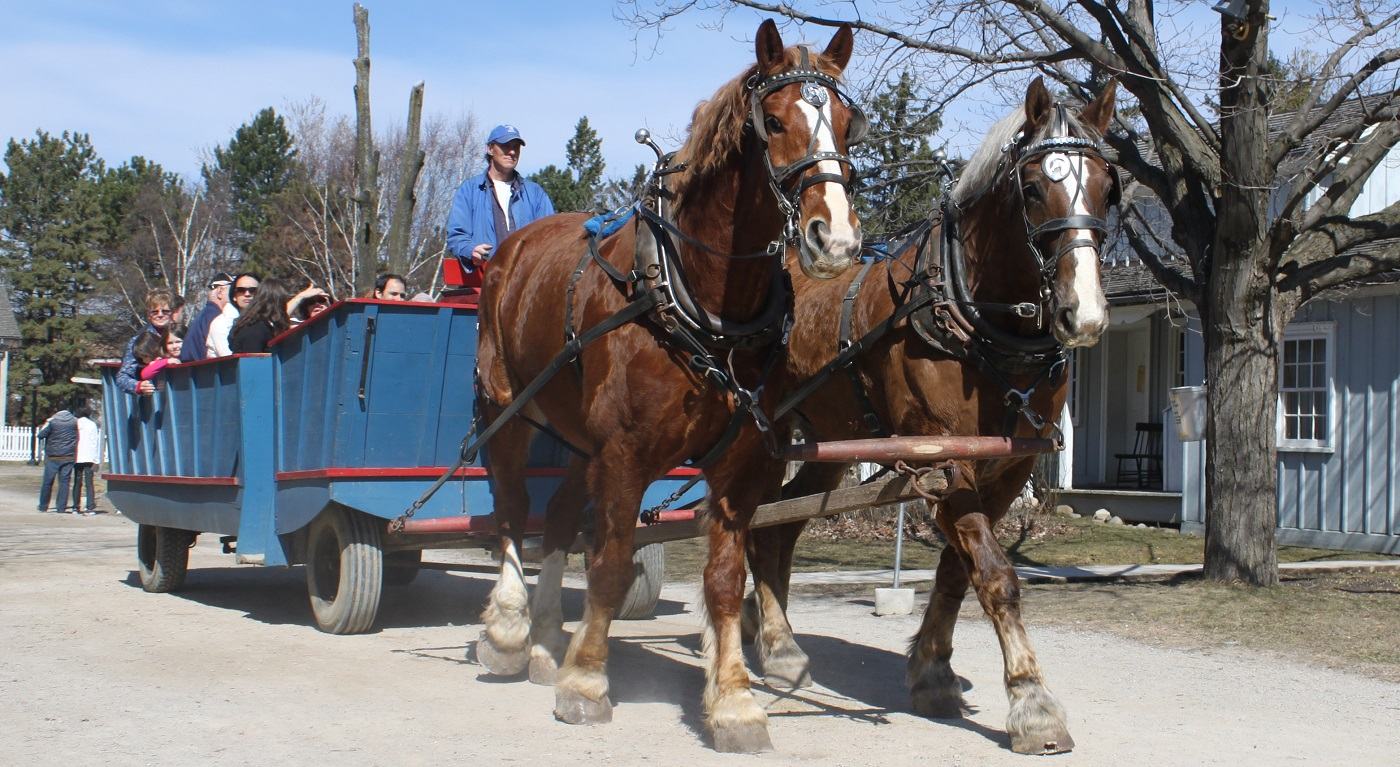 Clydesdale horses pull a wagon at Black Creek Pioneer Village