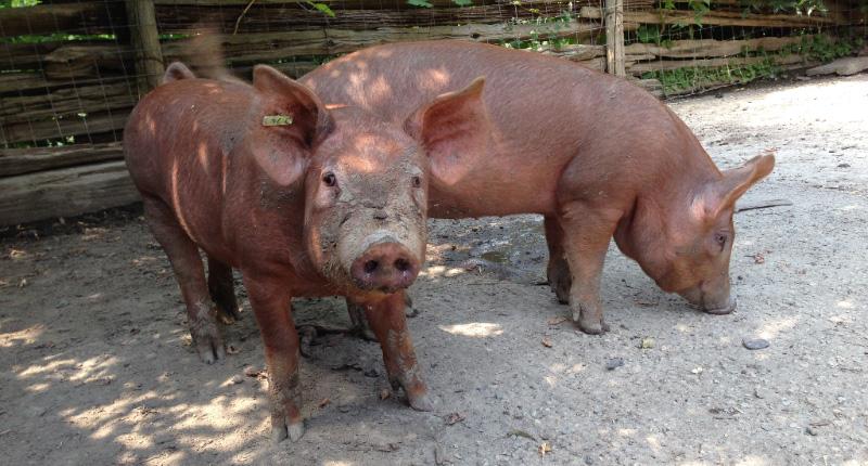 Tamworth pigs Fiona and Chiffon