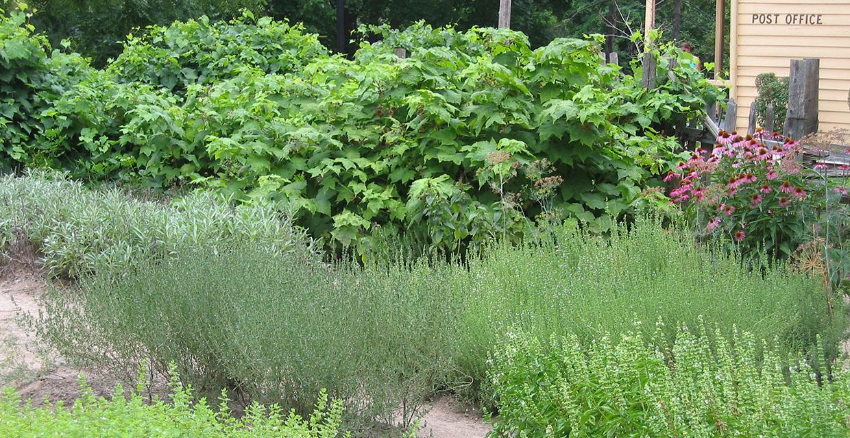 the herb garden at Black Creek Pioneer Village