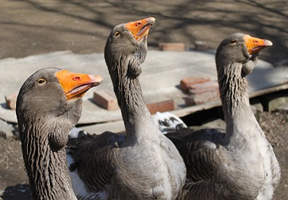 rare Toulouse Geese at Black Creek Pioneer Village