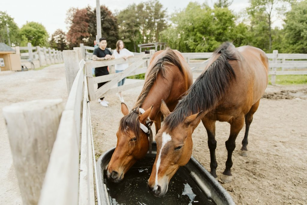 Couple watches two horses drinking from a trough