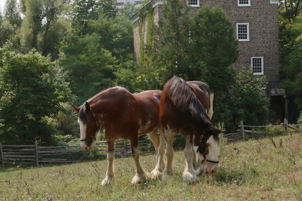 Two Clydesdale horses in front of the mill