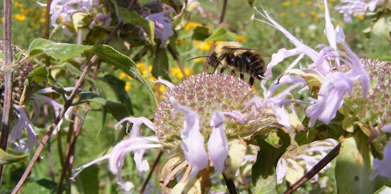 honey bee on bergamot