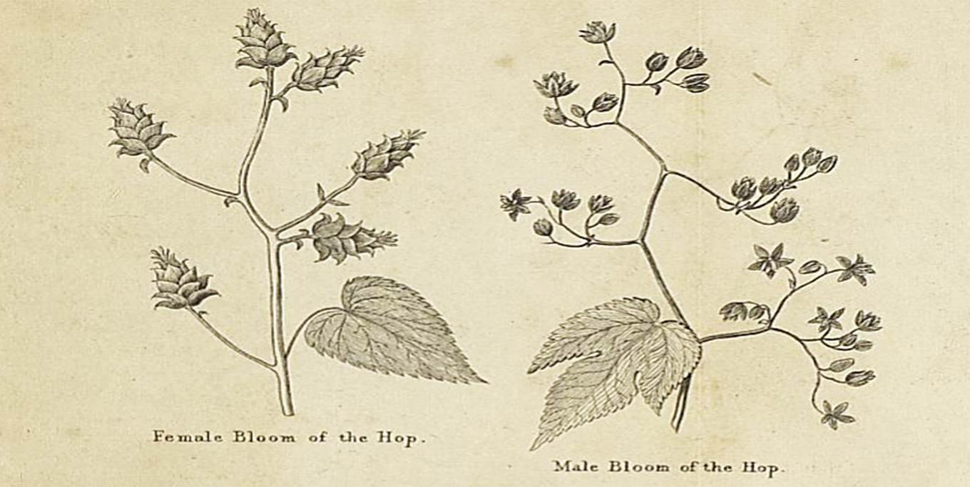 Victorian era drawing of hop plants