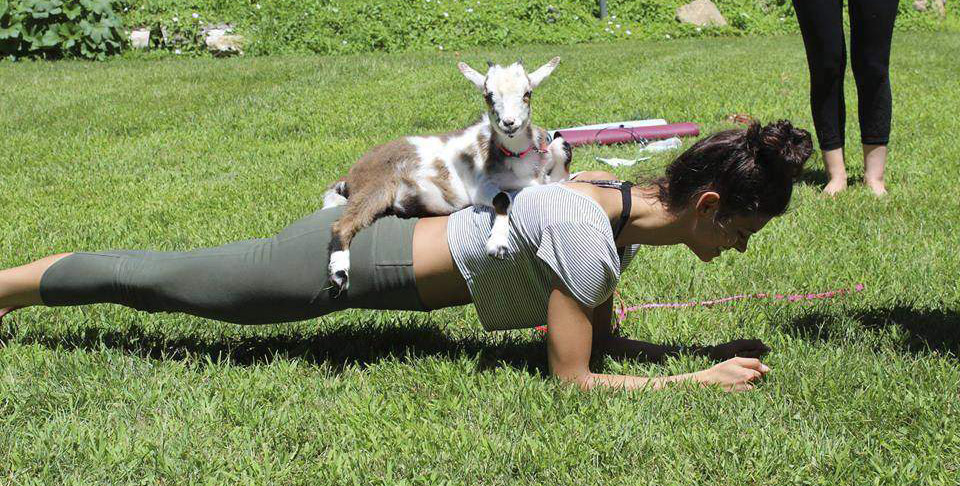 woman practices goat yoga