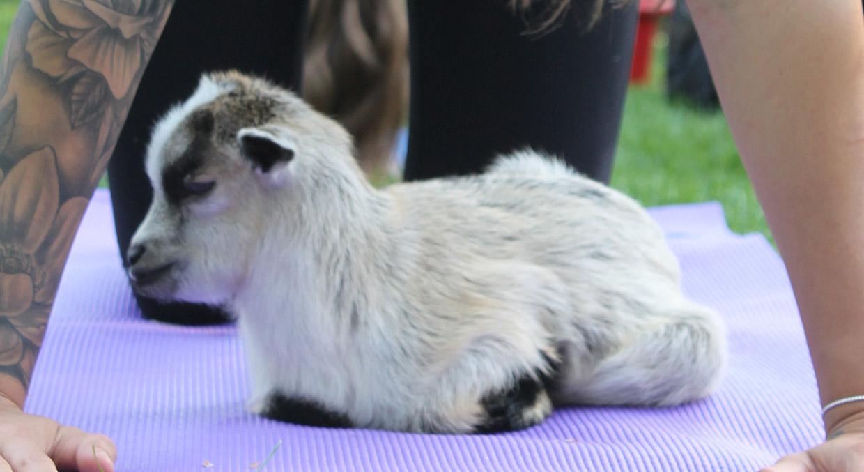 baby goat on yoga mat